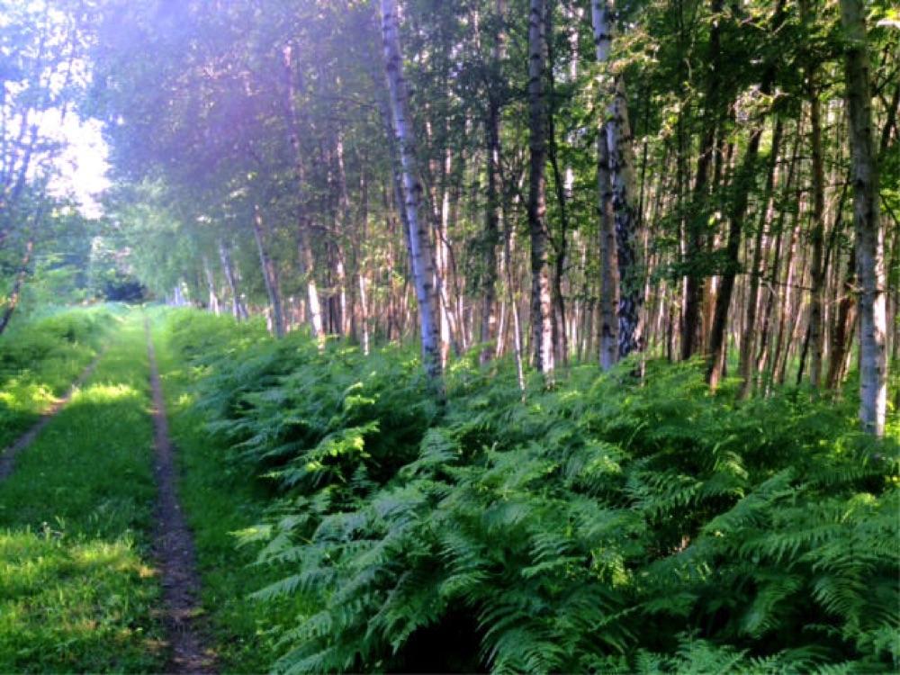 Birkenwaldchen bei Bansin